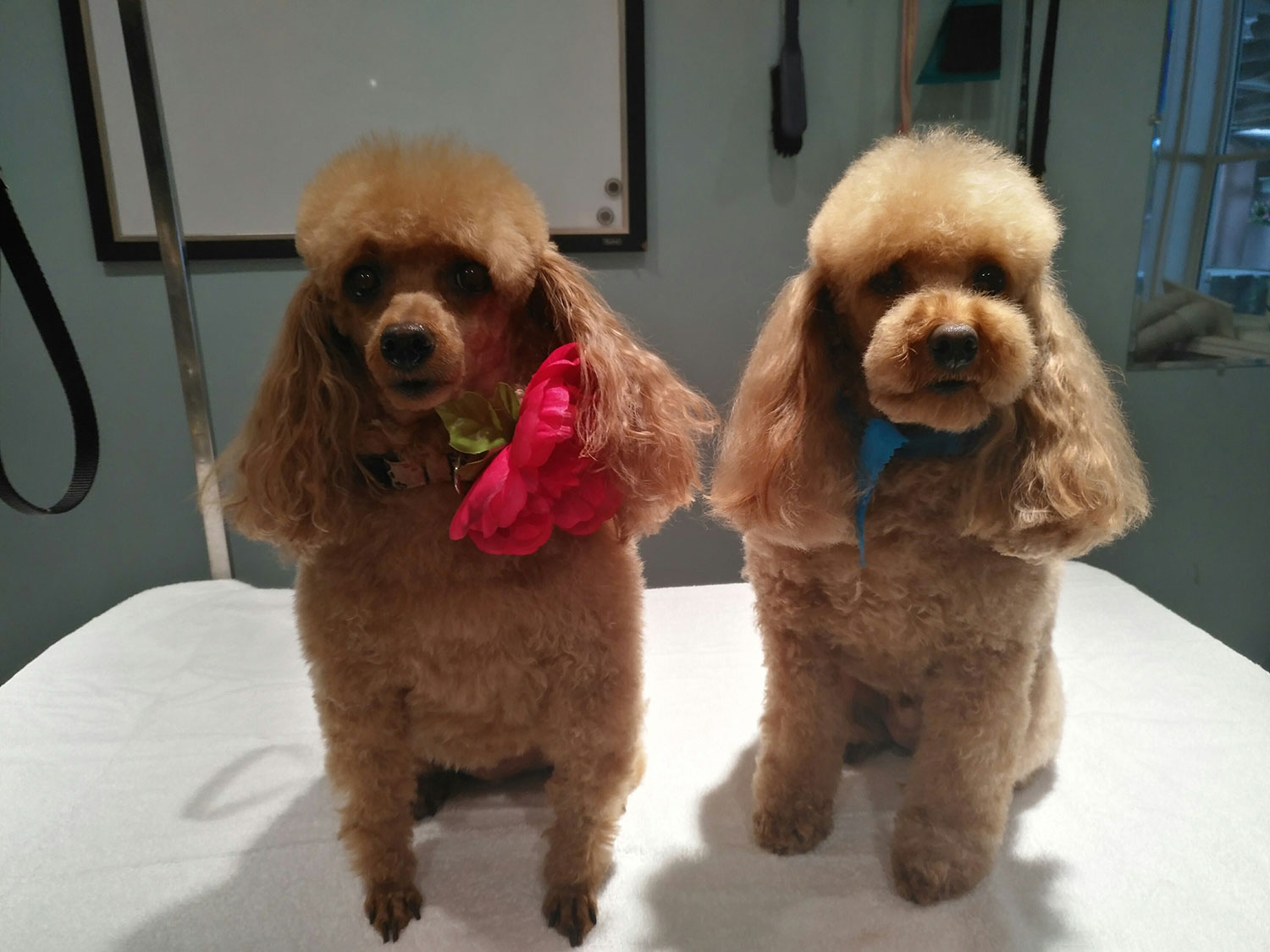 cat grooming dog grooming snowball aurora newmarket king city dogs n dos poodle