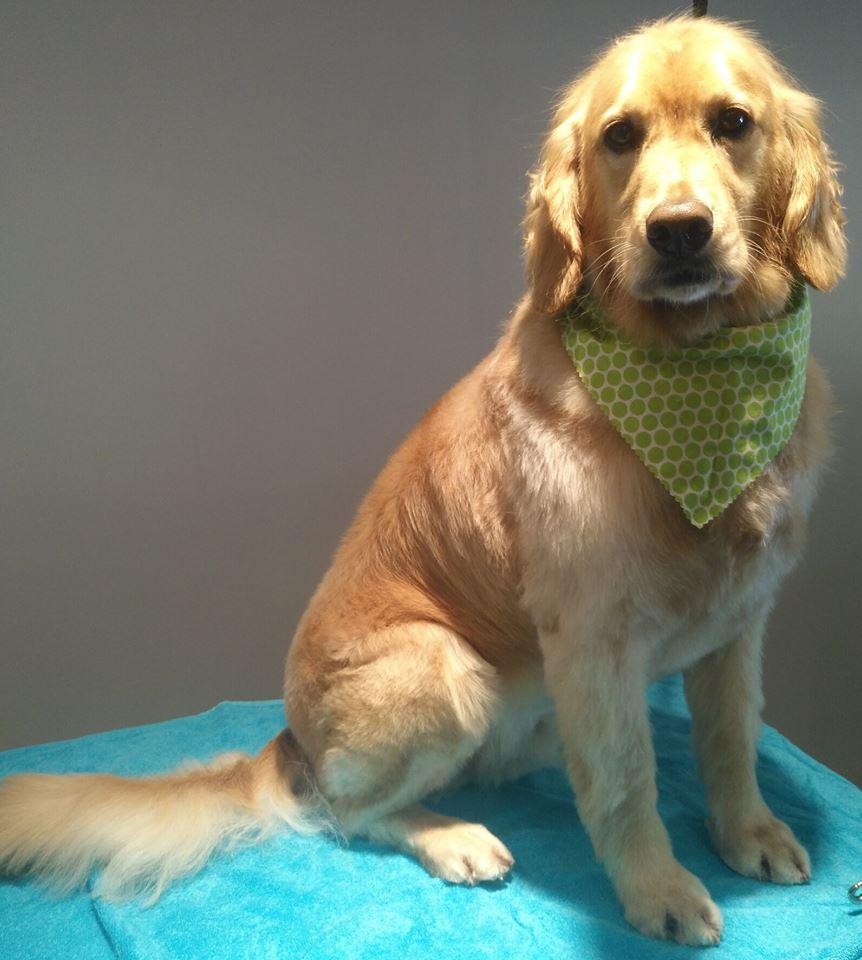 grooming pet spa york region aurora newmarket richmond hill king city golden retriever puppy cut