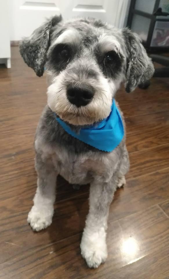 grooming pet spa york region aurora newmarket richmond hill king city schnauzer puppy cut