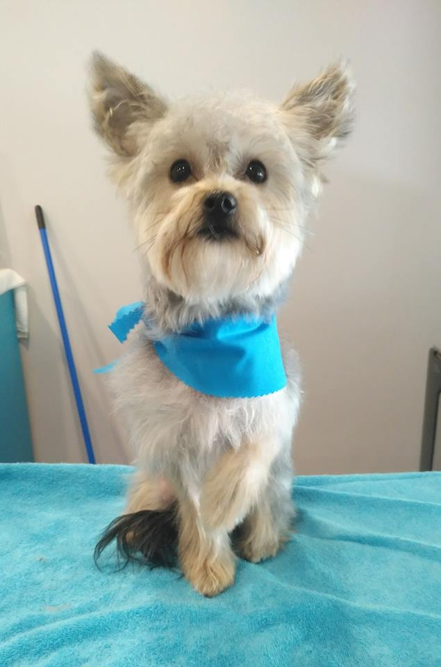 cat grooming dog grooming snowball aurora newmarket king city dogs n dos