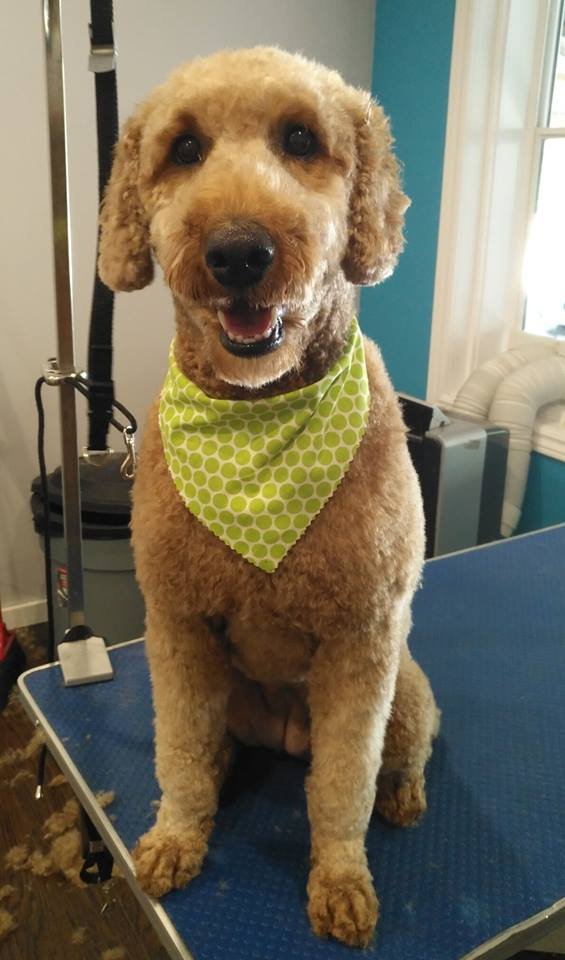 cat grooming dog grooming haircut toothbrushing nail trim goldendoodle puppy